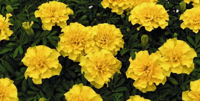 Marigold French Superhero Yellow