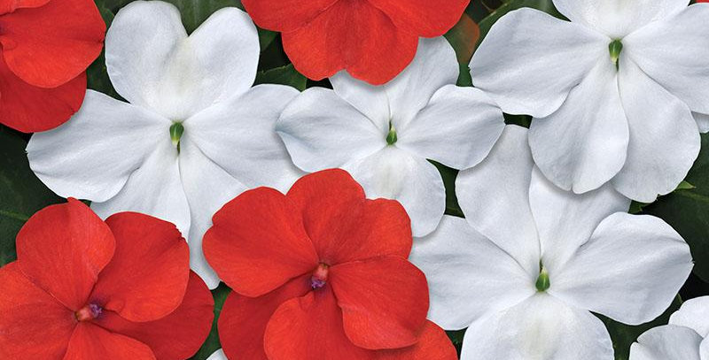 Impatiens Beacon Red And White