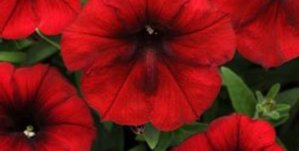 Easy Wave Red Velour Spreading Petunia
