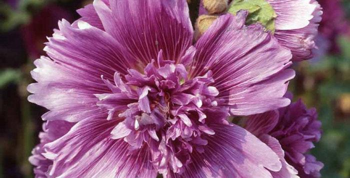 Alcea queeny purple