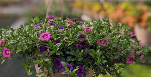"Panier Petunia Blue & Pink 10"""