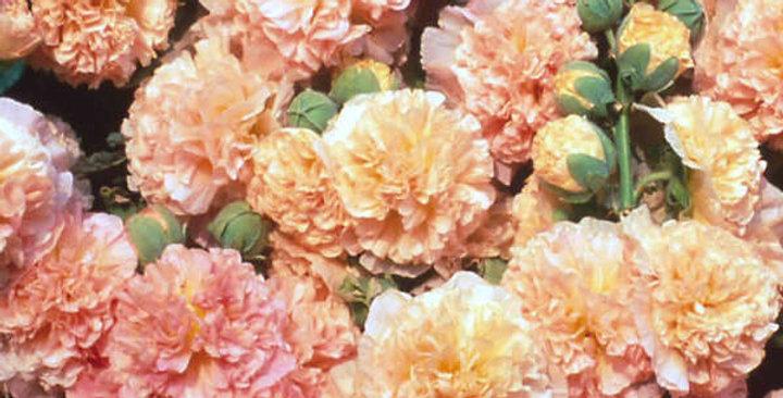 Alcea Peaches and Dreams