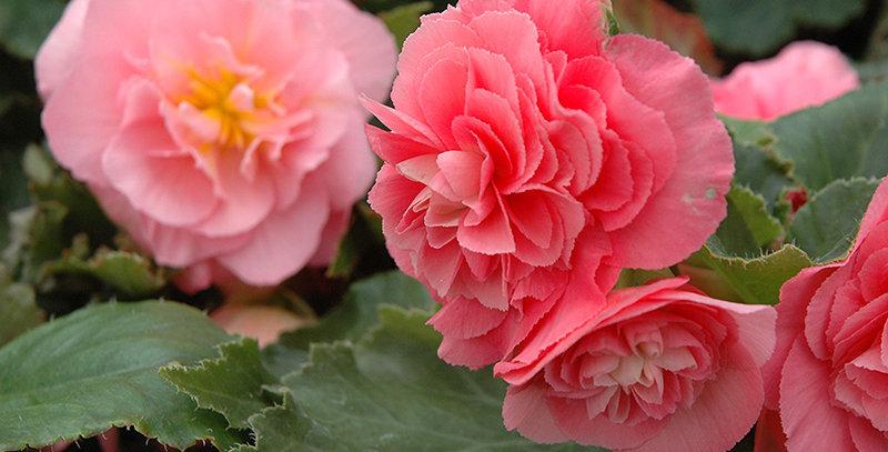 Panier Begonia Tuberous Nonstop Pink