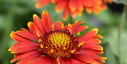 Gaillardia x Grandiflora Arizona Red Shades