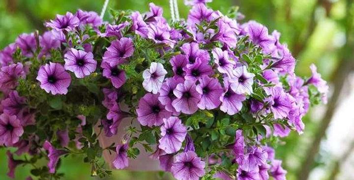 """Panier Petunia Combo Kit Violet, Lavender, Blue 10"""""""