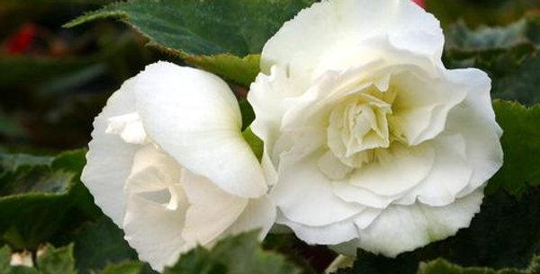 Panier Begonia Tuber Non Stop White