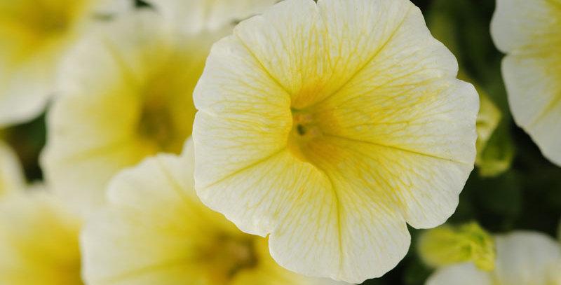 Petunia Easy Wave Yellow