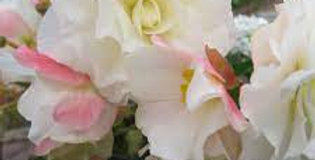 Begonia non stop apple blossom