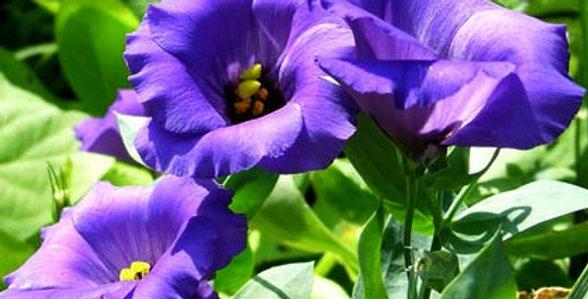 Lisianthus Echo Blue