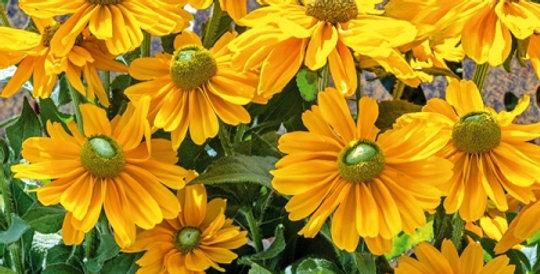 Rudbeckia Amarillo Gold
