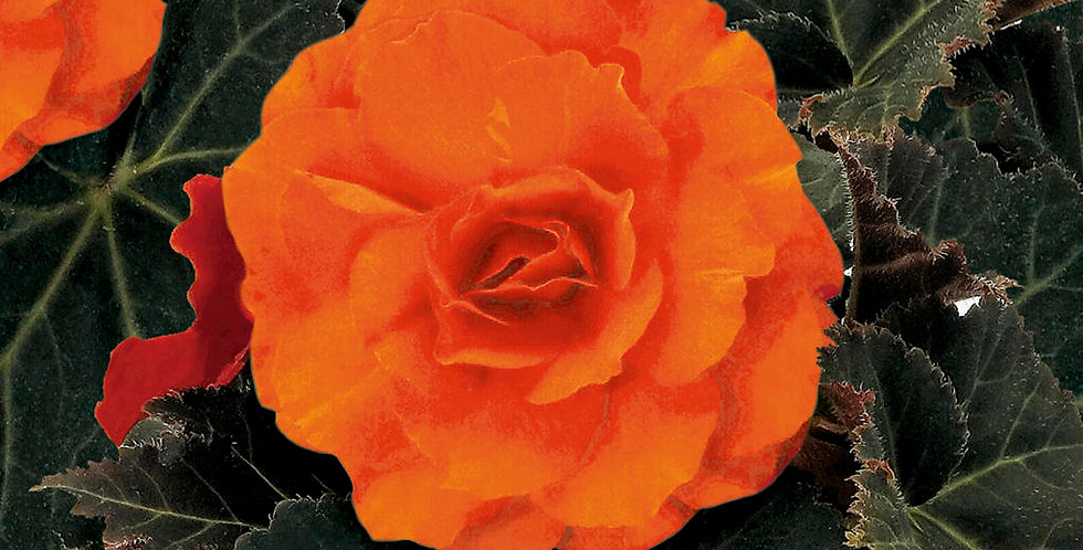 Begonia Tuber Nonstop Mocca Deep Orange
