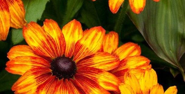 Rudbeckia Hirta Autumn Colors