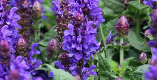Salvia Marvel Blue