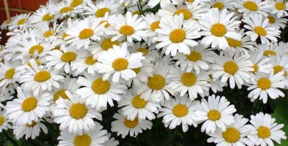 Leucanthemum White Magic