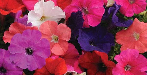 Petunia Pretty Flora Mix