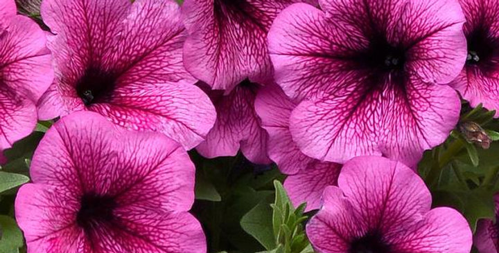 Petunia Easy Wave Rose Fusion