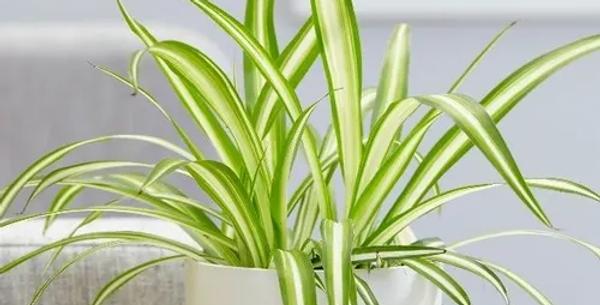 Plante araignée (avec pot)