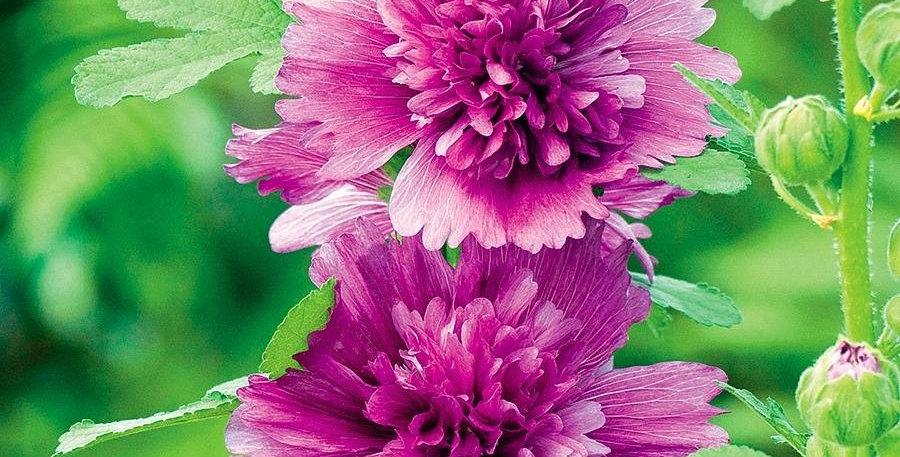 ALCEA Queeny Purple - Rose trémière – Hollyhock