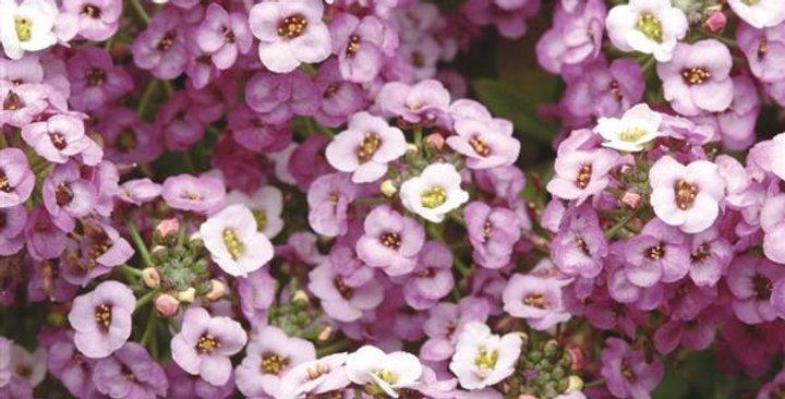 Clear Crystal Lavender Shades Alyssum
