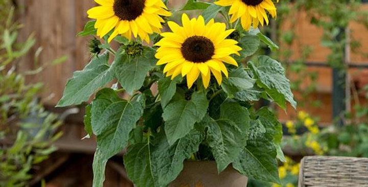 Helianthus Sunbuzz
