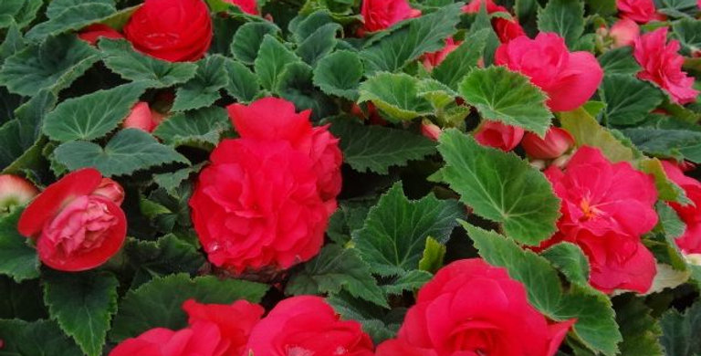 Begonia non stop deep rose