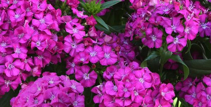 Dianthus Interspec Jolt Pink