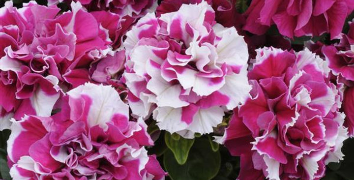 Petunia Double Madness Roses & White