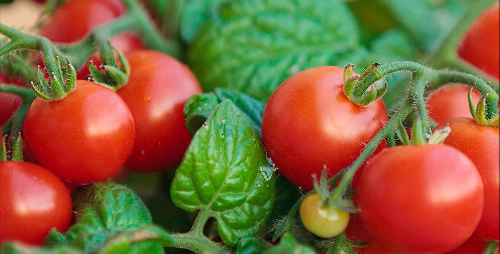 Tomates Tiny Tim (petites)