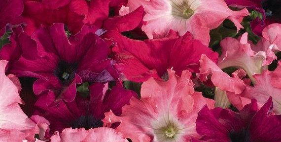 Panier Petunia Burgundy & Pink
