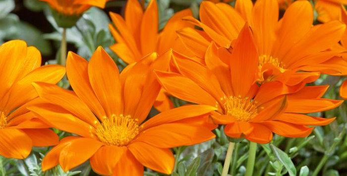 Gazania New Day Orange Clear