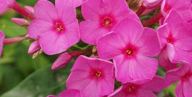 Phlox Paniculata Flame Pink