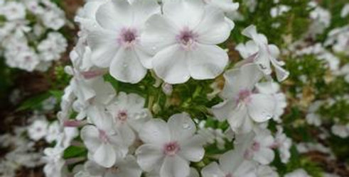 Phlox Paniculata Ka-Pow White