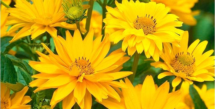 Heliopsis Helianthoides Scabra Summer Sun
