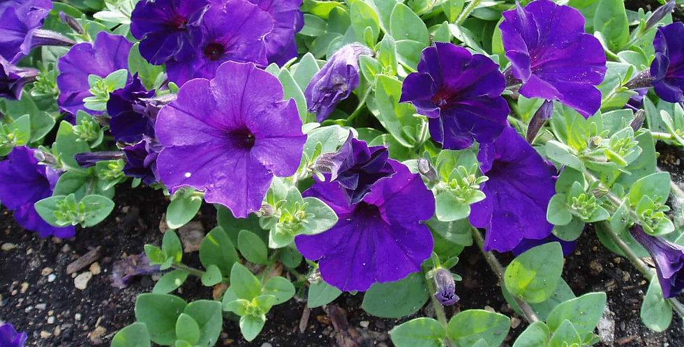 Petunia Easy Wave Blue