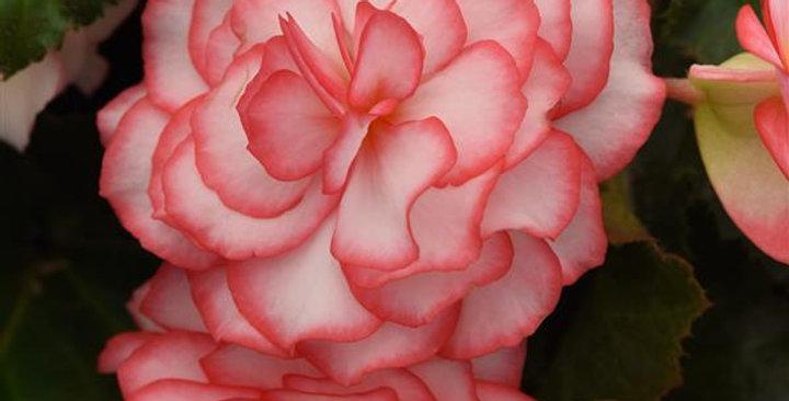 Begonia on top fandango
