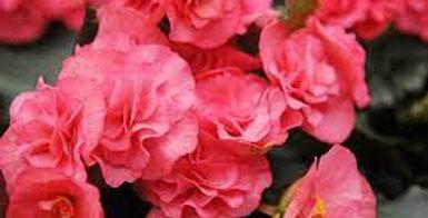 Begonia non stop pink