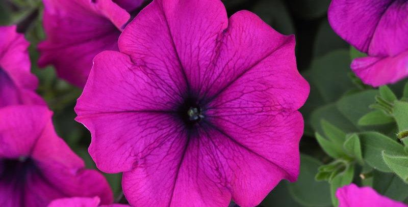 Easy Wave Violet Improved Spreading Petunia