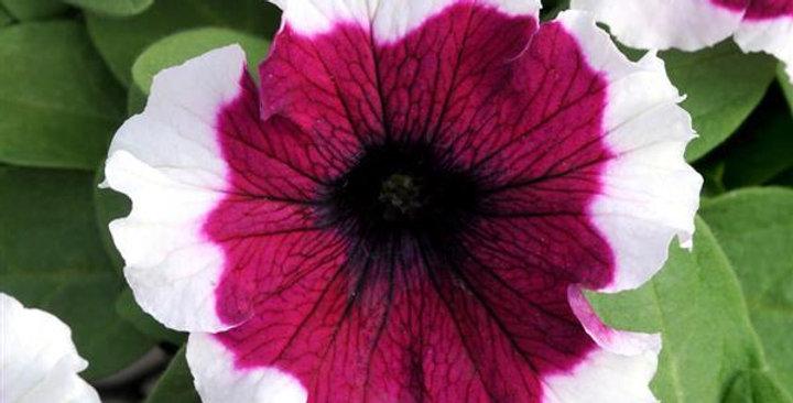 Petunia Dreams Burgundy Picotee