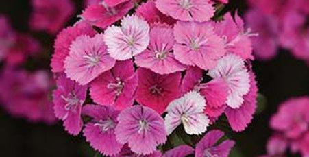 Dianthus Interspec Jolt Pink Magic