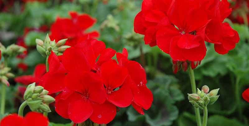 Geranium Zonal Maestro Sassy Dark red