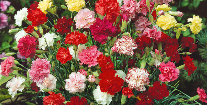 Carnation Grenadin Mix