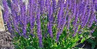 Salvia May Night Imp