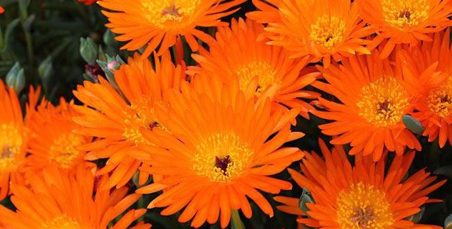 Lampranthus Aureus Orange