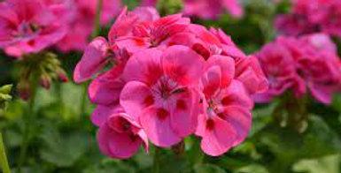 Geranium Zonal Maestro Pink Parfait