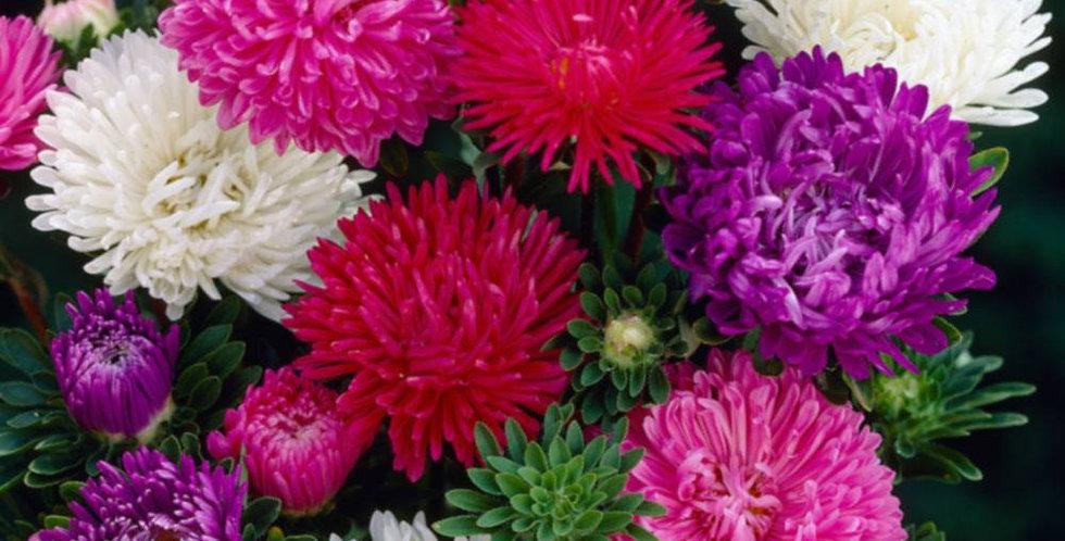 Aster Ball Florist Mix