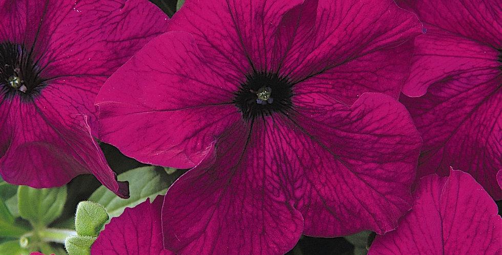 Petunia Dreams Burgundy