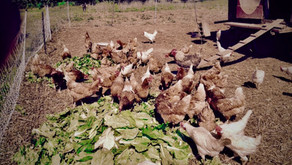 Chickens Eat Well Too!