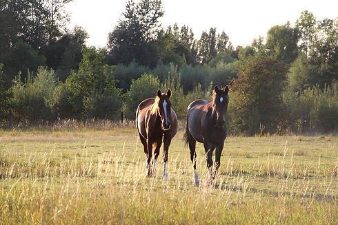 Les chevaux en prairie