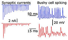 Endbulb short-term plasticity.  Traces on the left show synaptic currents recorded from a bushy cell in voltage clamp, while stimulating a single auditory nerve fiber at 100 Hz (blue) or 333 Hz (red).  Synaptic currents show significant depression.  Traces on the right show bushy cell spiking recorded in current clamp in response to auditory nerve stimulation.  Spiking decreases as a result of depression.