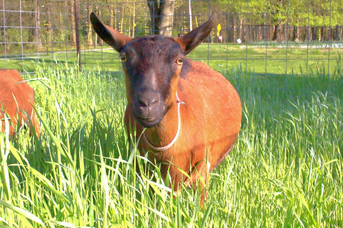 Educational Goat Visit